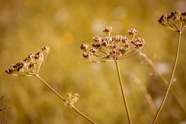 Hogweed, Plant, Meadow, Summer, Seeds, Close, Nature