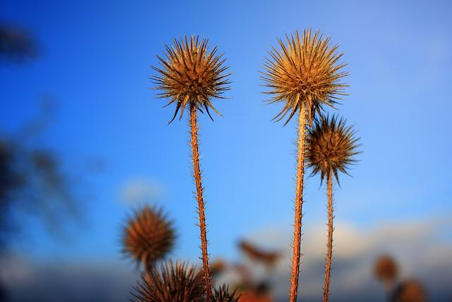 Field, Plant, Carding Thistles, Seeds, Summer, Autumn