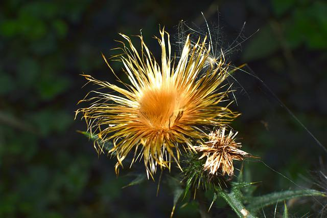 Thistle, Dry, Seeds Was, Nature, Prickly, Faded