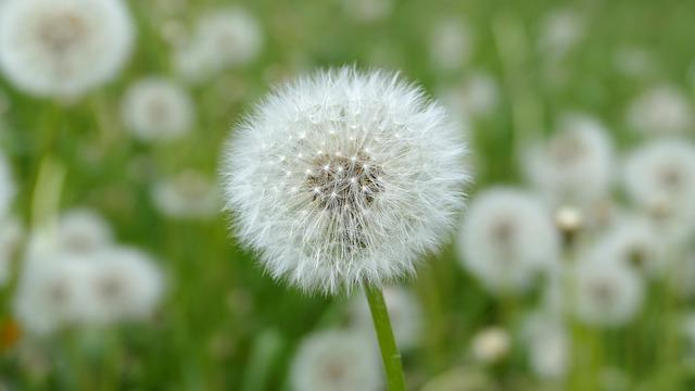 Dandelion, Seeds, Faded, White, Filigree