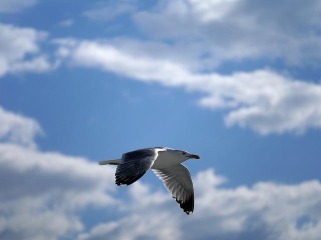 Seagull, Glide, Flight, Bird, Seevogel, Sea, Animal