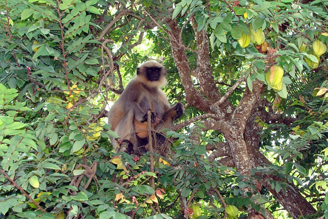 Monkey, Hanuman, Langur, Semnopithecus, Macaque