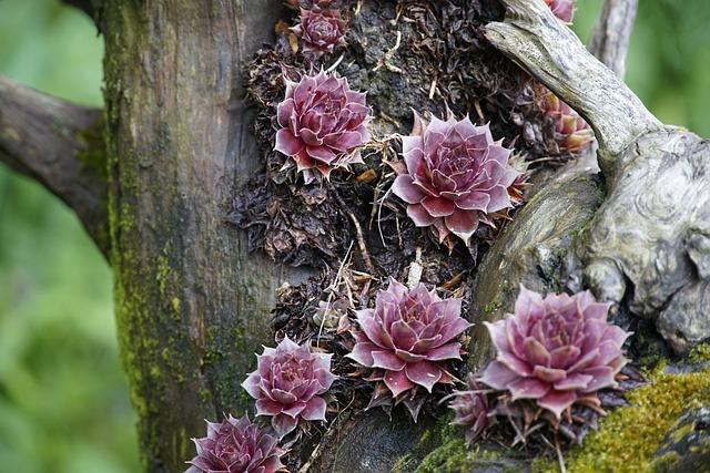 Sempervivum, Houseleek, Succulent, Plant, Red, Stump