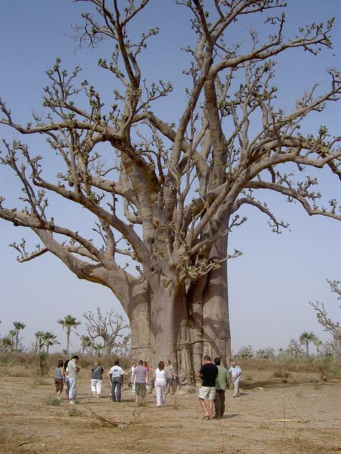 Nature, Baobab, Senegal, Group, Tourism, Large, Desert