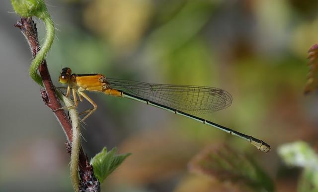 Senegal Pechlibelle, Dragonfly, Ischnura Senegalensis