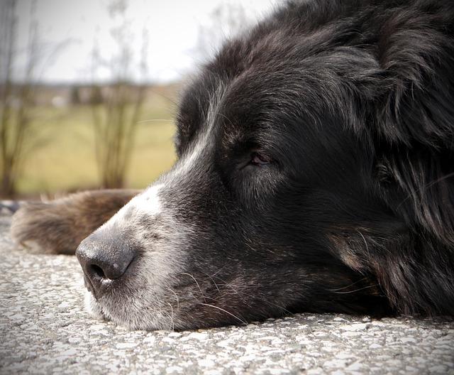 Bernese Mountain Dog, Senior, Rest, Walk, Break, Older