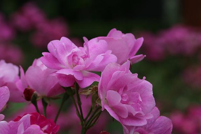 Rose, Rose Festival, Seoul, Flowers, Garden