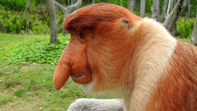 Borneo, Sepilok, Proboscis Monkey