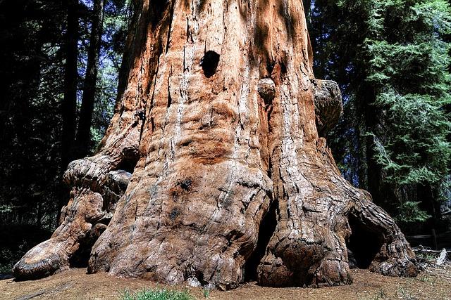 Sequioa Tree, Sequioa National Park, California