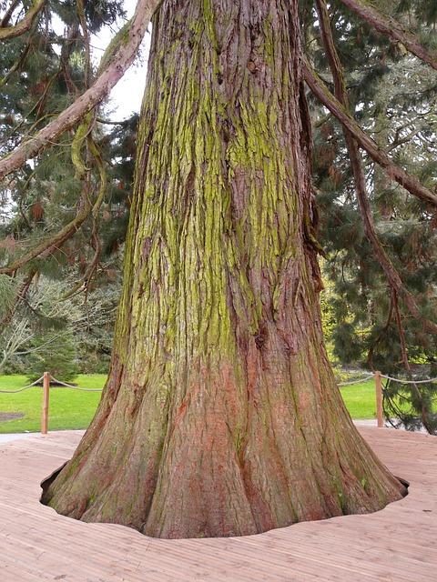 Giant Redwood, Sequoiadendron Giganteum, Tree, Sequoia
