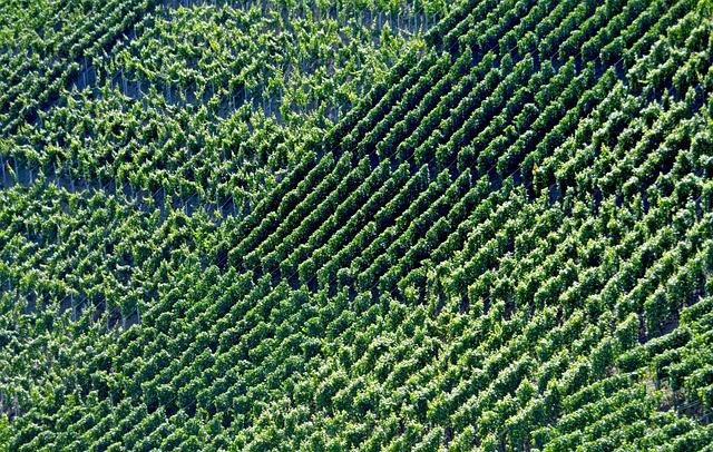 Vineyards, Winegrowing, Vines, Vintage, Harvest, Series