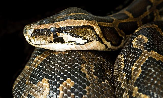 Constrictor, Snake, Close, Danger, Boa, Serpent