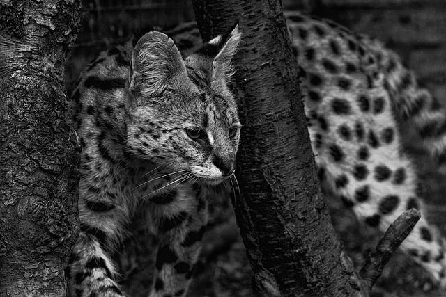 Nature, Cat, Animal, Mammal, Wildlife, Serval, Big Cat