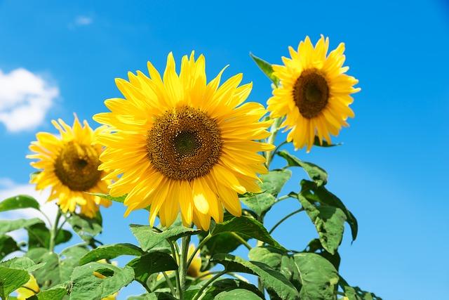 Sunflower, Sf, Festival, September, Mountain, Landscape