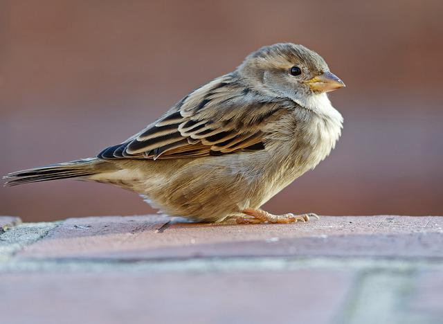 Sparrow, Bird, Small, Almost, Plumage, Shades Of Brown