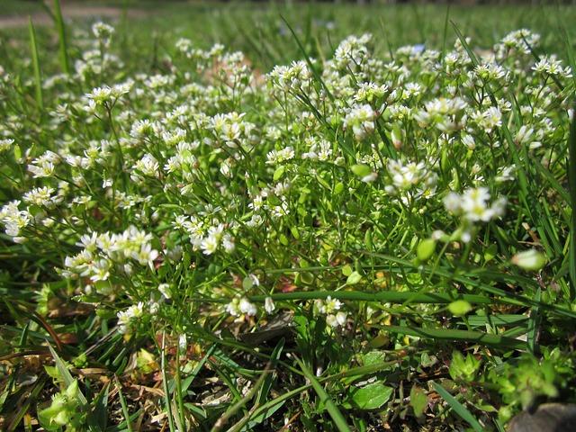 Draba Verna, Spring Draba, Shadflower, Nailwort