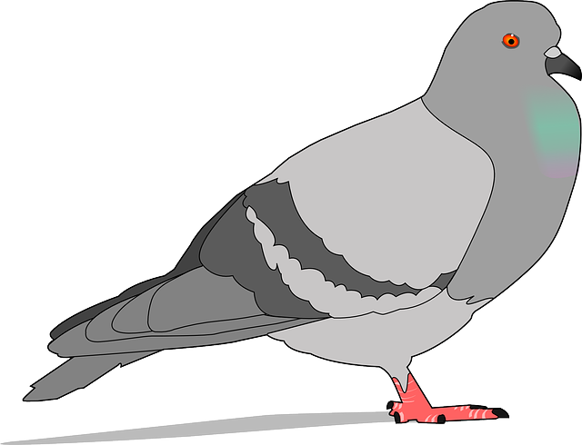 Pigeon, Rock, Gray, Shadow, Bird, Wings, Feathers, Grey