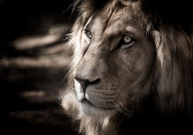 White Lion, Eyes, Lion, Shadows