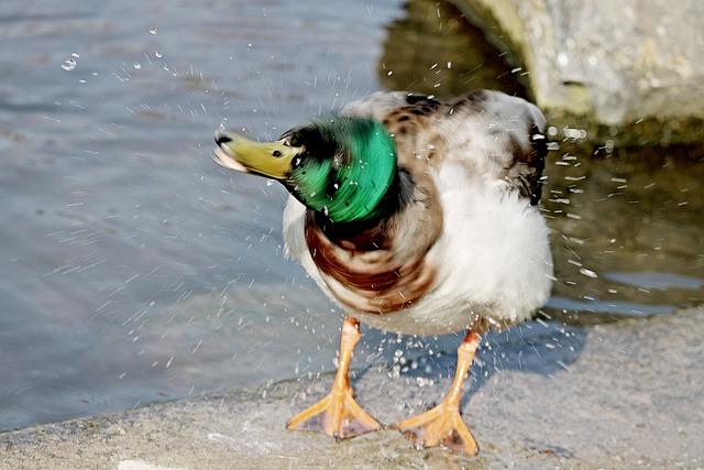 Duck, Drake, Inject, Swim, Shake, Bath, Water Bird
