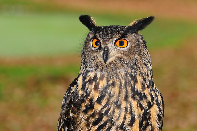 European Eagle Owl, Bird Of Prey, Owl, Bird, Sharp Look
