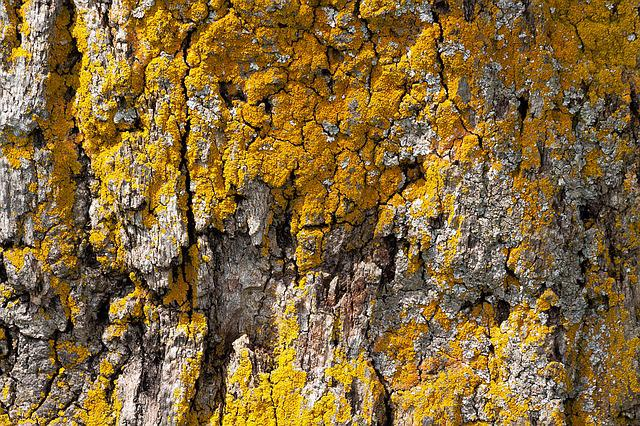 Bark, Tree, Oak, Old Oak, Bast, Shed Bark, Lichen