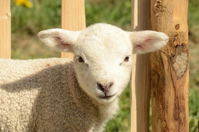 Animal, Mammal, Farm, Sheep, Lamb