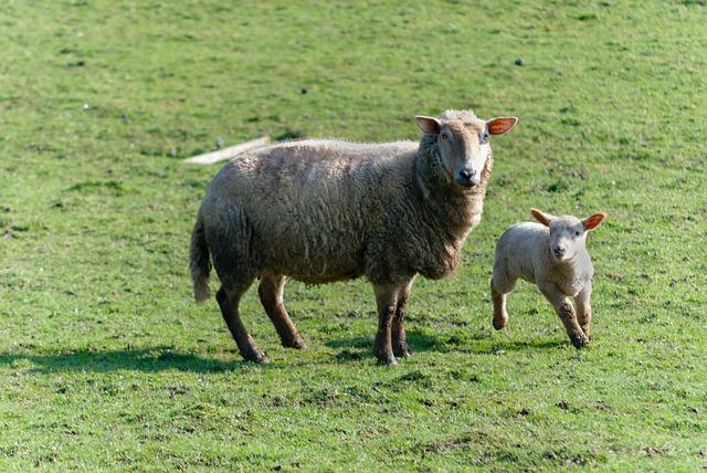 Sheep, Livestock, Prairie, Farm, Field, Breeding