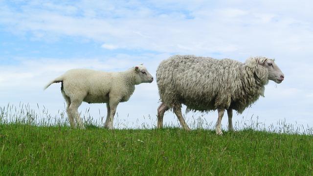 Sheep, Lamb, Texelschaf, Texel, Dike, Animals