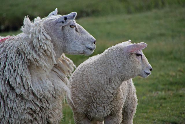 North Sea, Sheep, Dike, Dike Sheep