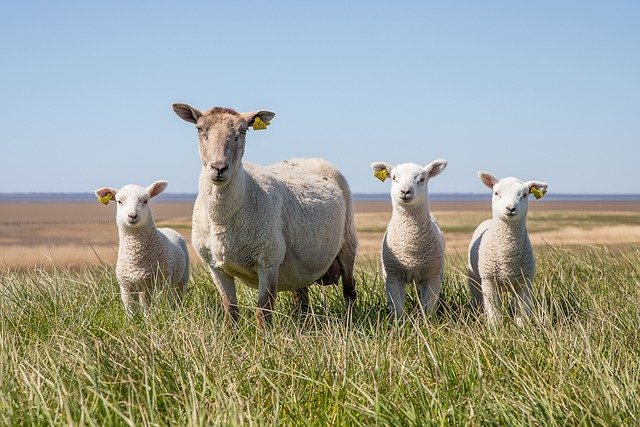 Sheep, Lamb, The Wadden Sea, National, West Coast, Dyke