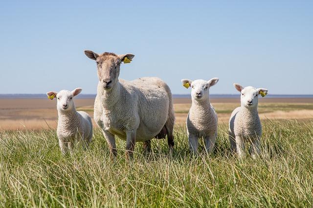 Sheep, Lamb, The Wadden Sea, National, West Coast, Dyke