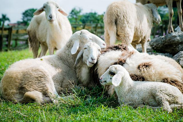 Sheep, Meadow, White, Farm