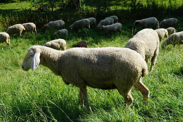 Sheep, Pasture, Meadow, Grey, Green, Grass, Animal