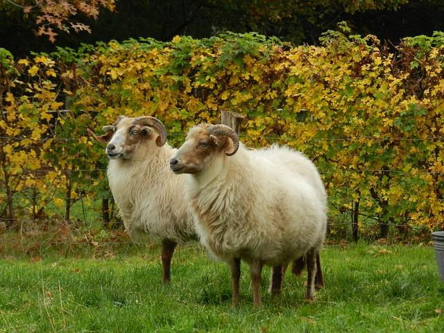 Sheep, Heather S, Drenthe Heath Sheep