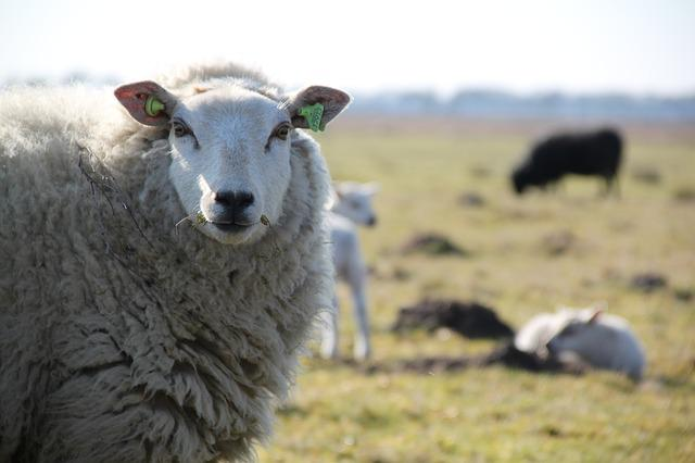 Sheep, Drenthe, Lamb, Herd, Heide, Countryside, Nature
