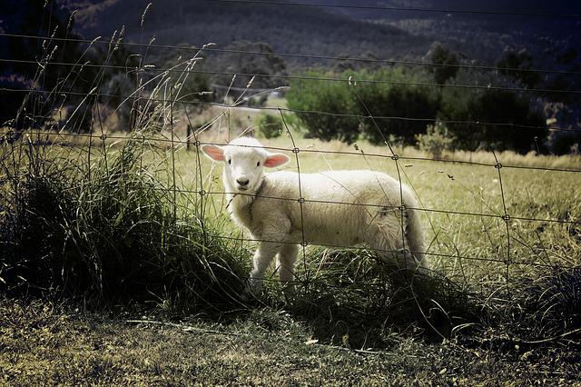 Lamb, Sheep, Farm, Animal, Countryside, Grass, Field