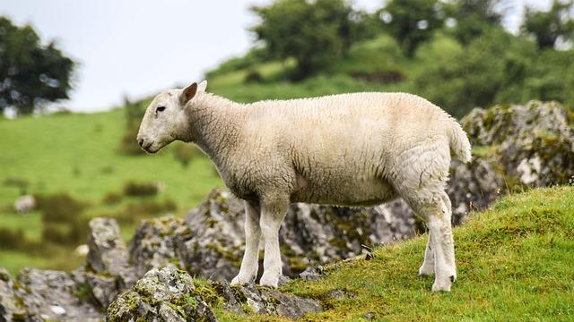 Scotland, England, Highlands And Islands, Sheep, Lamb