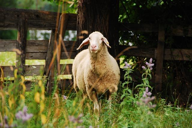 Sheep, Meadow, Nature, Pasture, Animal, Lamb, Graze