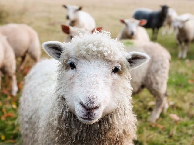 Ireland, Sheep, Lambs, Livestock, Animals, Closeup