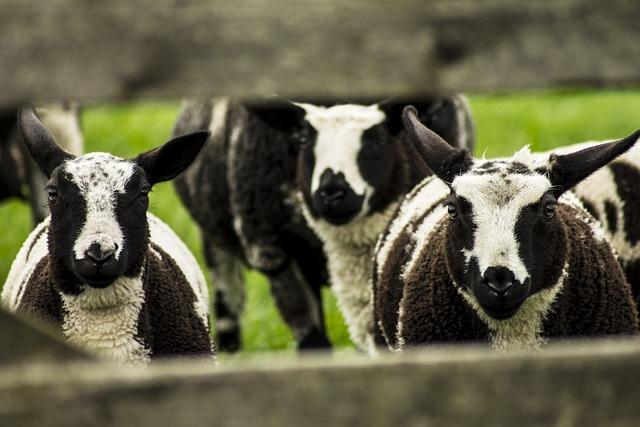 Sheep, Lamb, Pasture, Fence, Spring, Young, Lambs