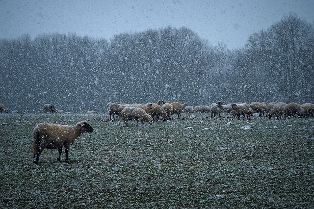 Nature, Snow, Landscape, Winter, Cold, Sheep