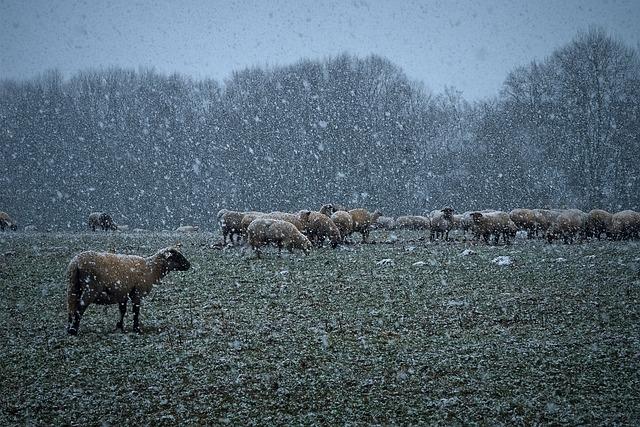 Nature, Snow, Landscape, Winter, Cold, Sheep
