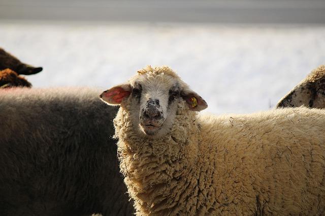 Sheep, White Sheep, Livestock, Sheep's Wool