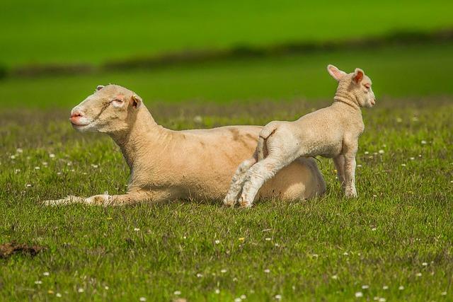 Sheep, Luka, Nature, Lamb, Game, Chick, Grass