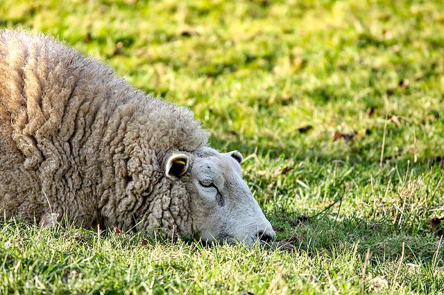 Sheep, Lying, Rest, Meadow, Pasture, Wool, Animal