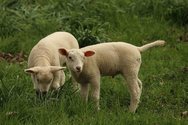 Lamb, Sheep, Animal, Cute, Schäfchen, Animal World