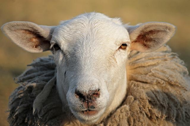 Sheep, Livestock, Head, Winter Wool, Portrait