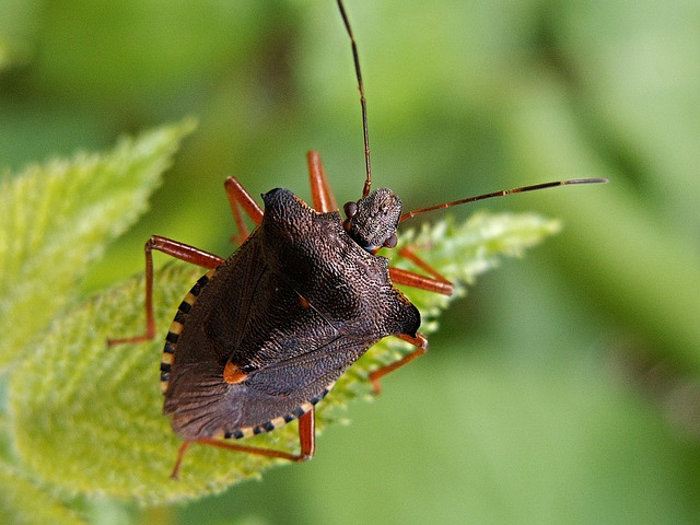 Bug, Sheet, Insect, Brown, Macro, Ledenice