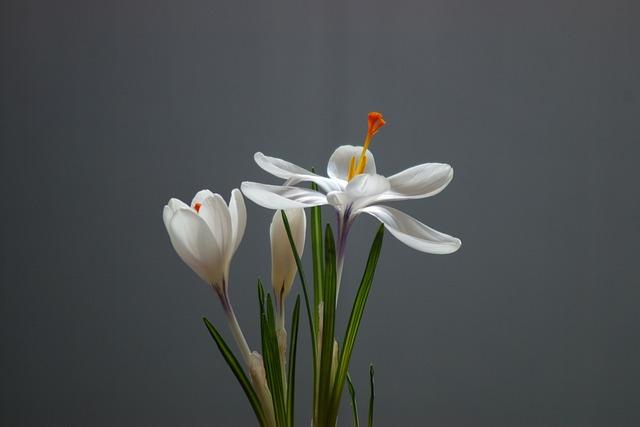 Nature, No One, Flower, Plant, Sheet, Crocus