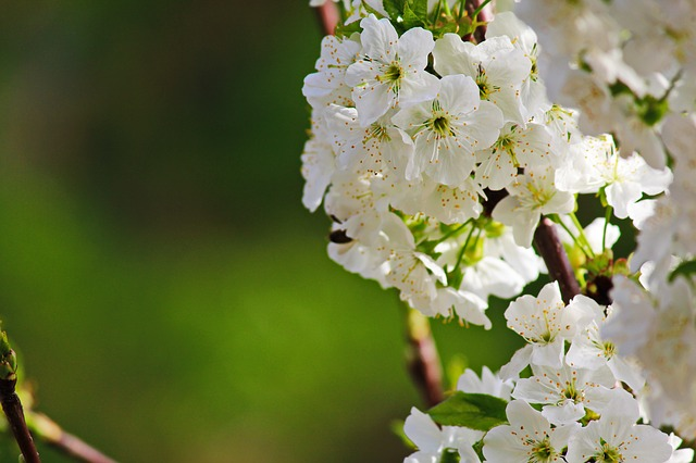 Flower, Nature, Plant, Sheet, No One, Cherry, Insect